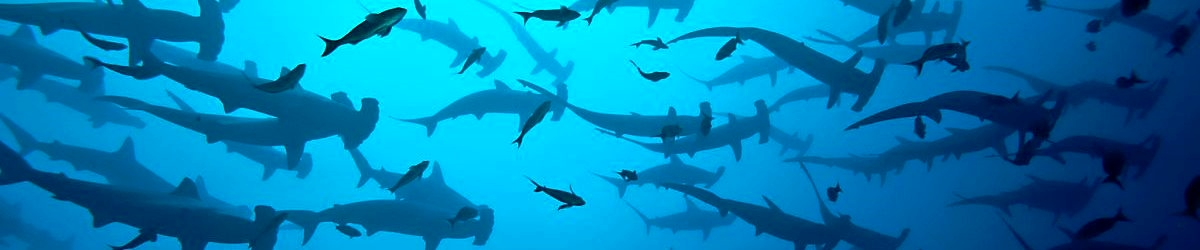 cocos masses of hammerheads