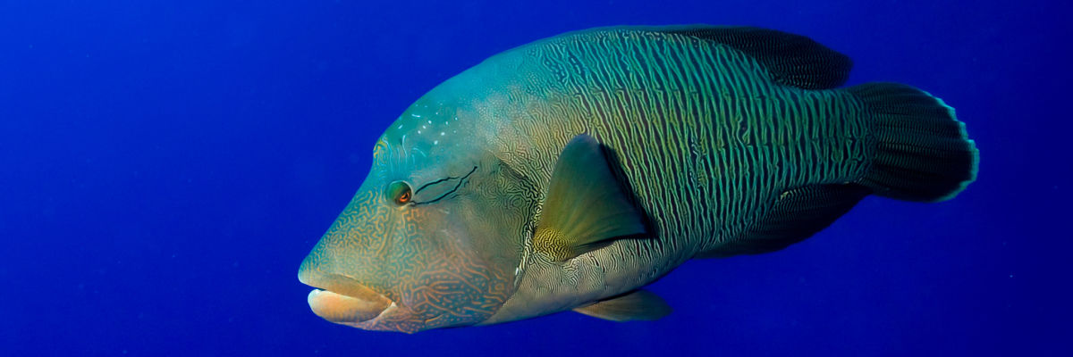 Australia Napoleon wrasse clear blue bkgrd opt