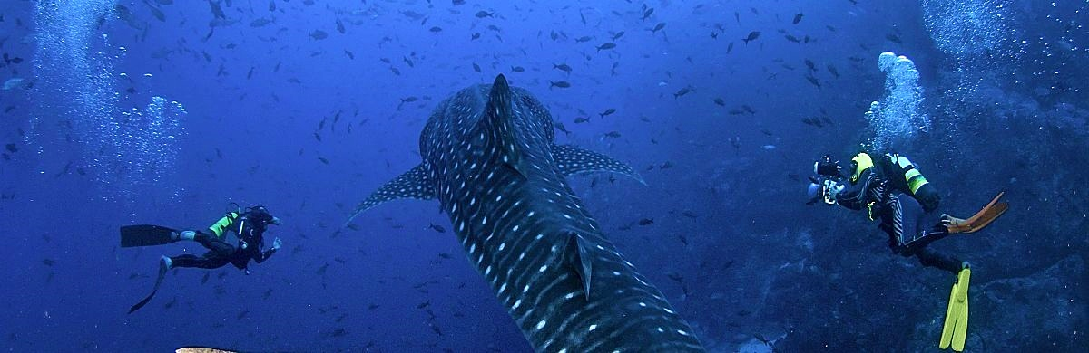 Cocos whale shark tail divers shutterstock 740493109b opt