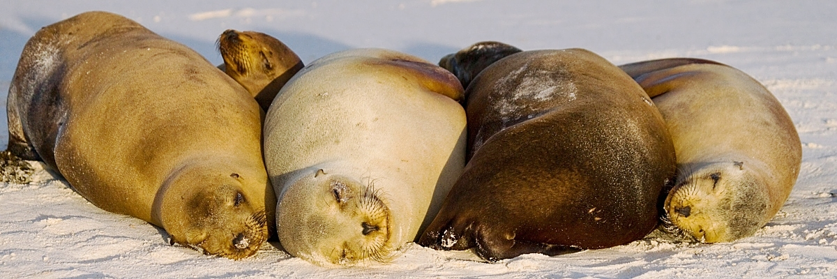 Galapagos 4 sea lions sleeping white sand shutterstock 332417642