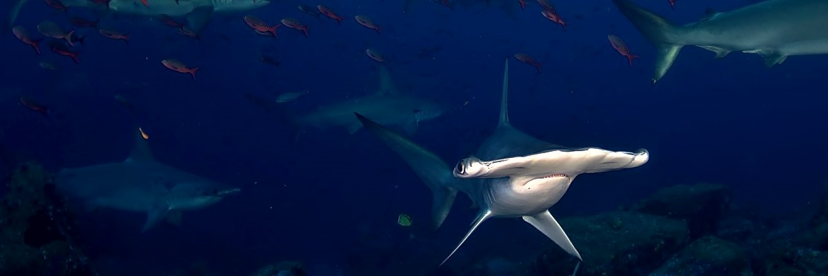 Galapagos hammerheads fish shutterstock 530254114 opt
