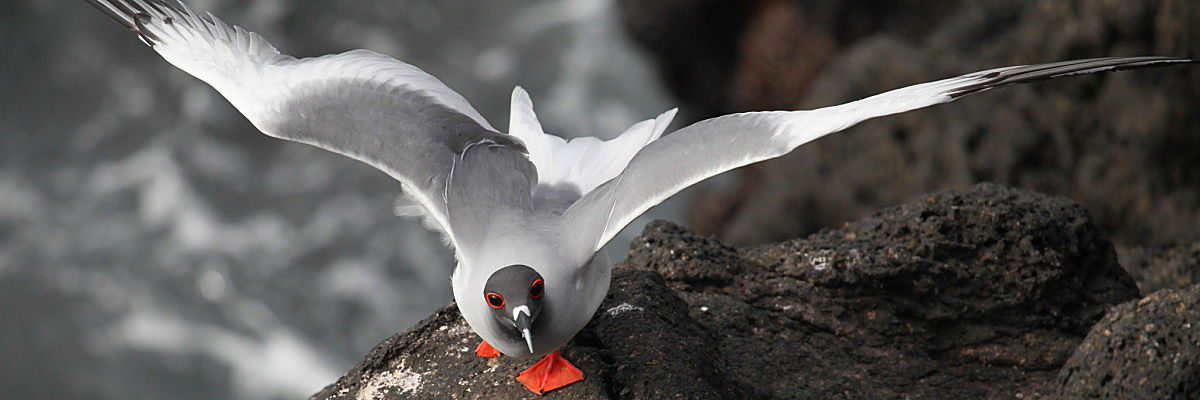 Galapagos red footed gull wow shutterstock 492718207 opt