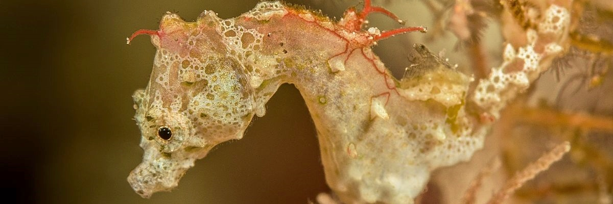 Indonesia Lembeh Pontohs pygmy seahorse shutterstock 709620964 opt