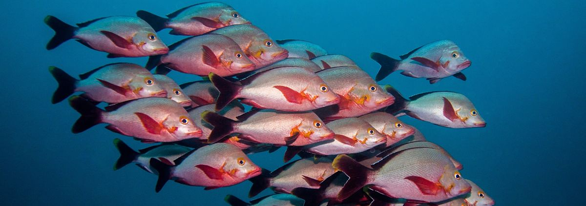 Maldives stunning snapper group shutterstock 729427177b opt