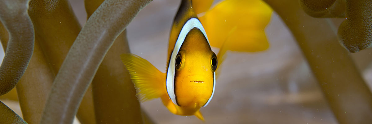 Oman Clarkes anemonefish in arch shutterstock 329870108 opt