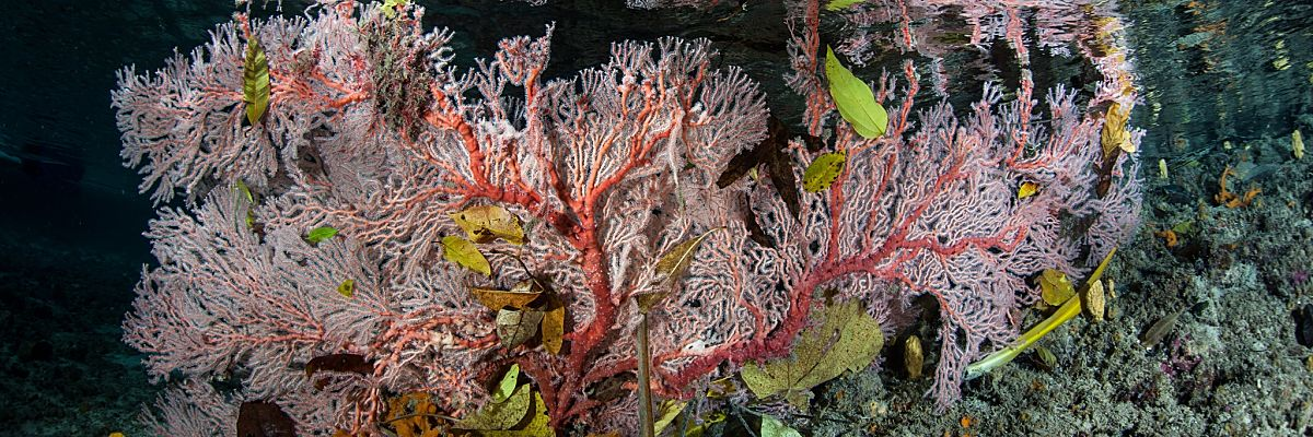 Palau Pink Branching Coral Shallow Lagoon shutterstock 165410045 2 Copy opt