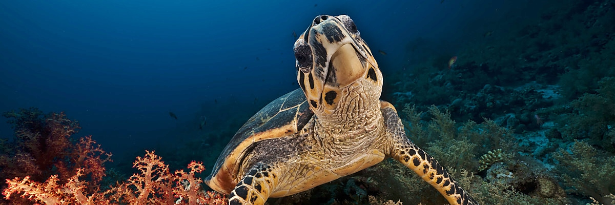 RS Hawksbill Turt Plaintive stephan kerkhofs Fotolis 2 opt