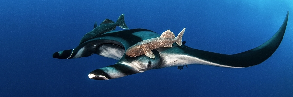 Socorro manta with riders shutterstock 436242424 opt