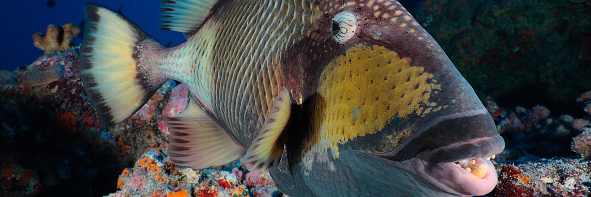 Tahiti big triggerfish close shutterstock 313255367 opt