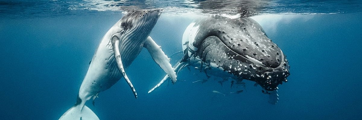 Tonga humpback calf surface shutterstock 549495370 Copy opt