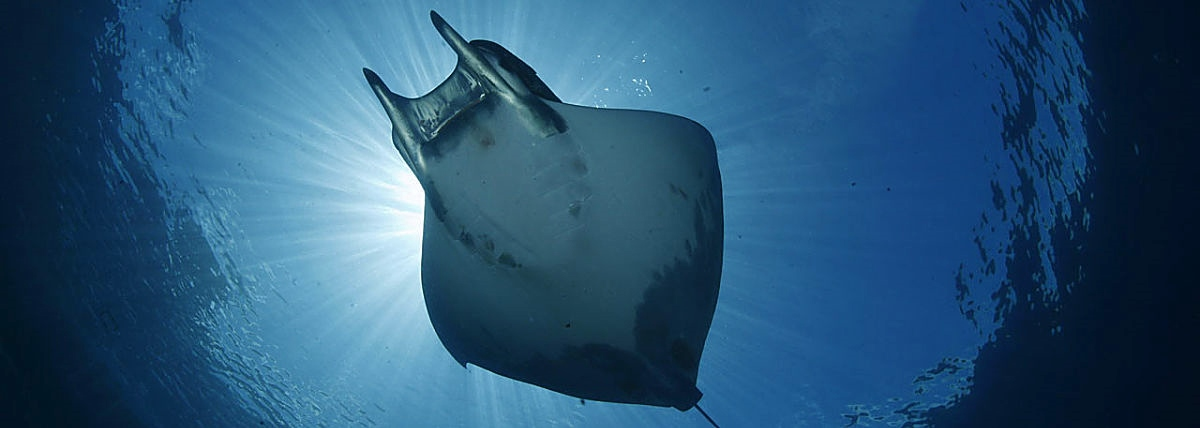 malpelo manta ray coiba expeditions opt