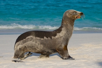 Galapagos sand covered seal shutterstock 332417636 Copy