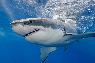 Guadalupe great white giving us the eye shutterstock 426651178 Copy opt