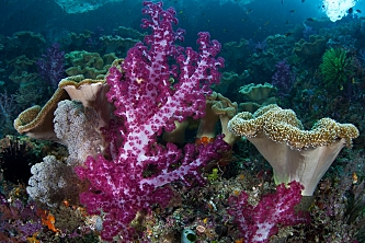 Indonesia Raja Ampat soft corals shutterstock 136162574 opt