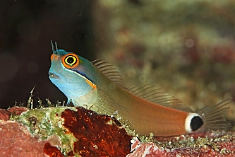 Indonesia Colorful Blenny opt