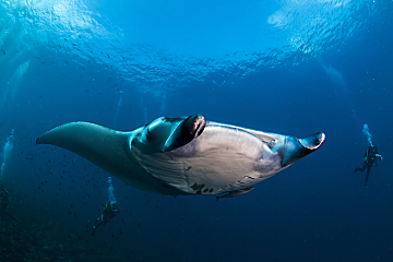 Maldives Manta Close 2 Divers Behind dreamstime m 31986260 opt