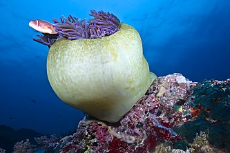 Phiippines Visayas huge anemone and fish shutterstock 130693067 opt