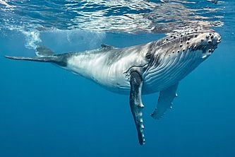 Tonga humpback just strolling shutterstock 575779171b opt
