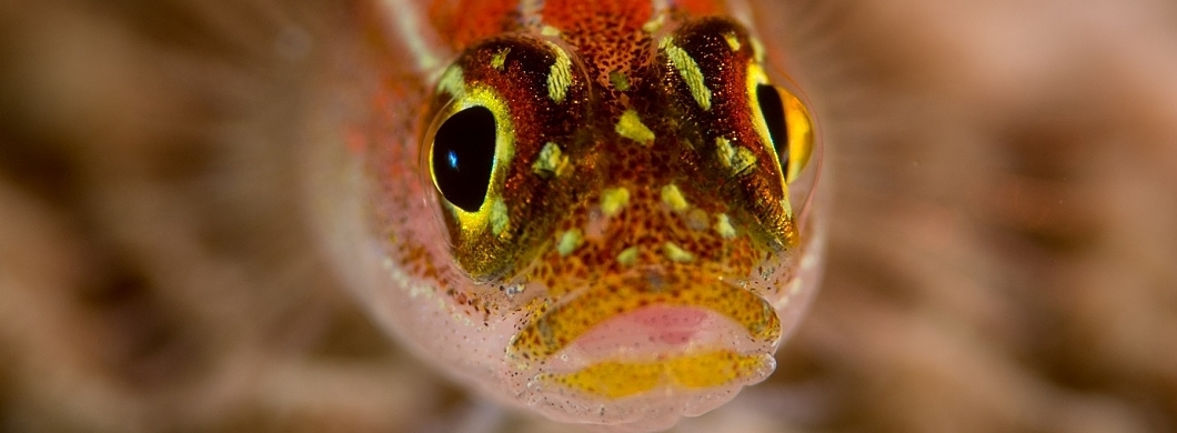 x goby face shutterstock 359733236 opt Copy