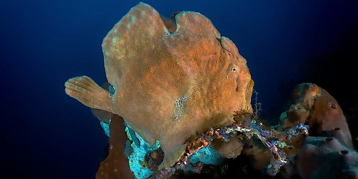 1A Indonesia frogfish shutterstock 1255458232 opt